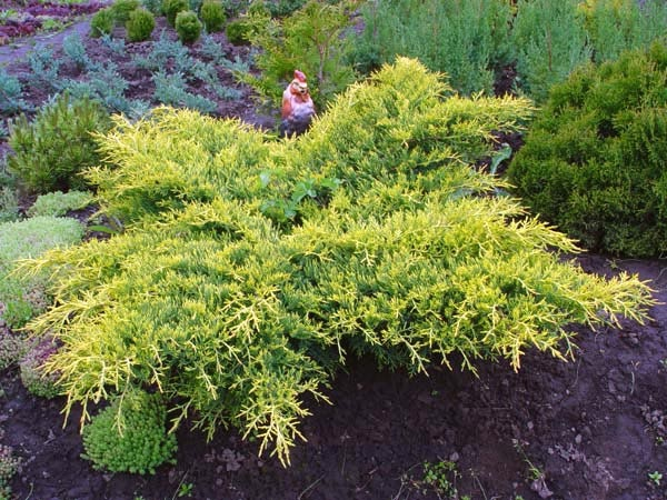 "Juniperus media ""Gold Star"""